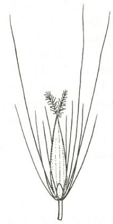 Buy native grass online bluedale plants online blog pennisetum alopecuroides seed diagram from harden 1993 ccuart Image collections